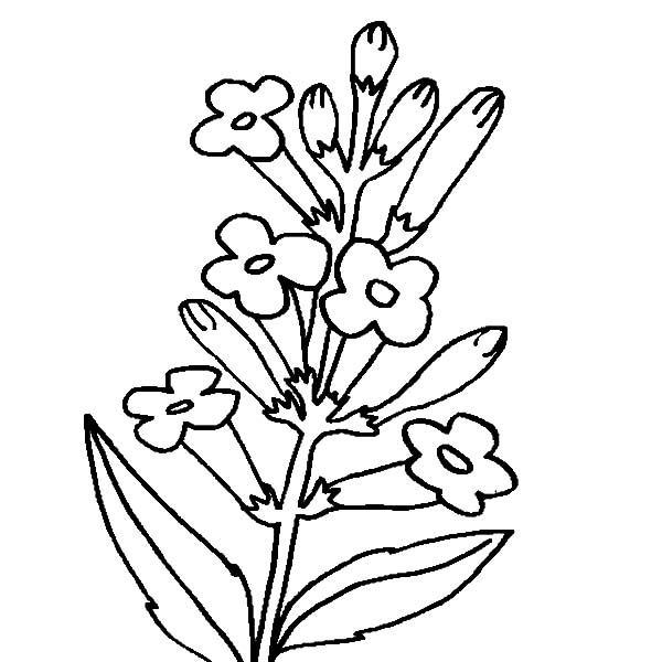 coloring pages of lavender - photo#22