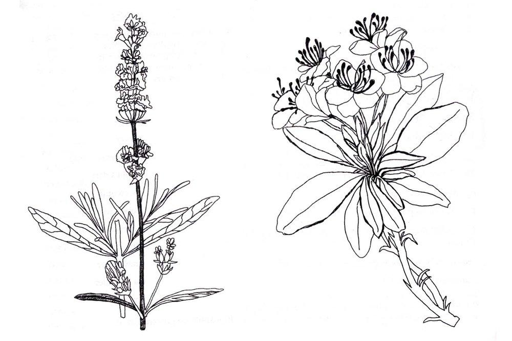 1000x667 Botanical Illustration Terry Marks Illustration
