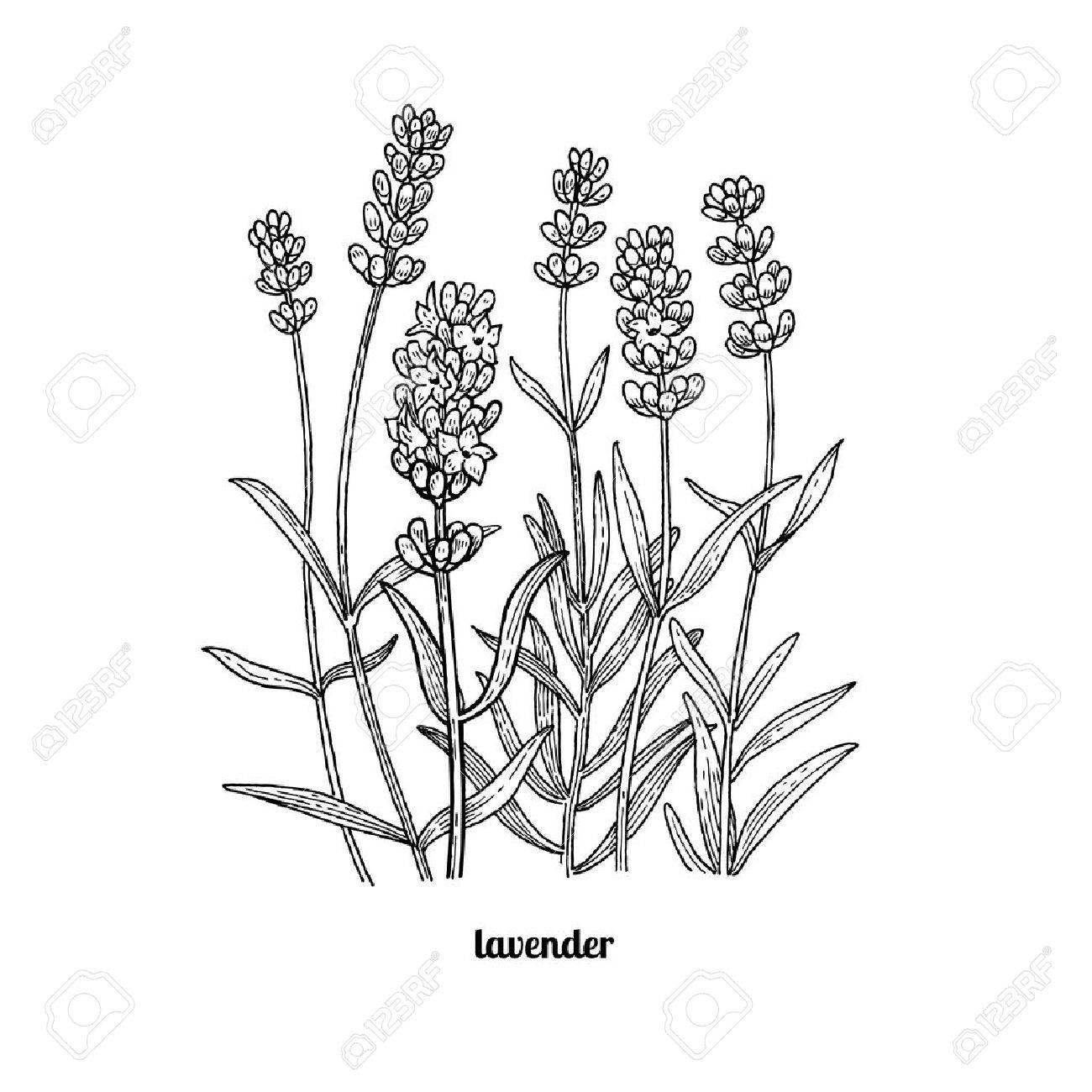 Line Drawing Lavender : Lavender line drawing at getdrawings free for