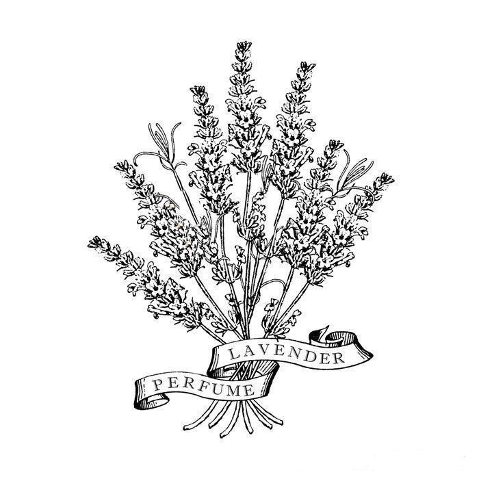 Lavender Plant Drawing