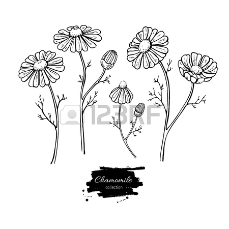 450x450 Lavender Vector Drawing Set. Isolated Wild Flower And Leaves