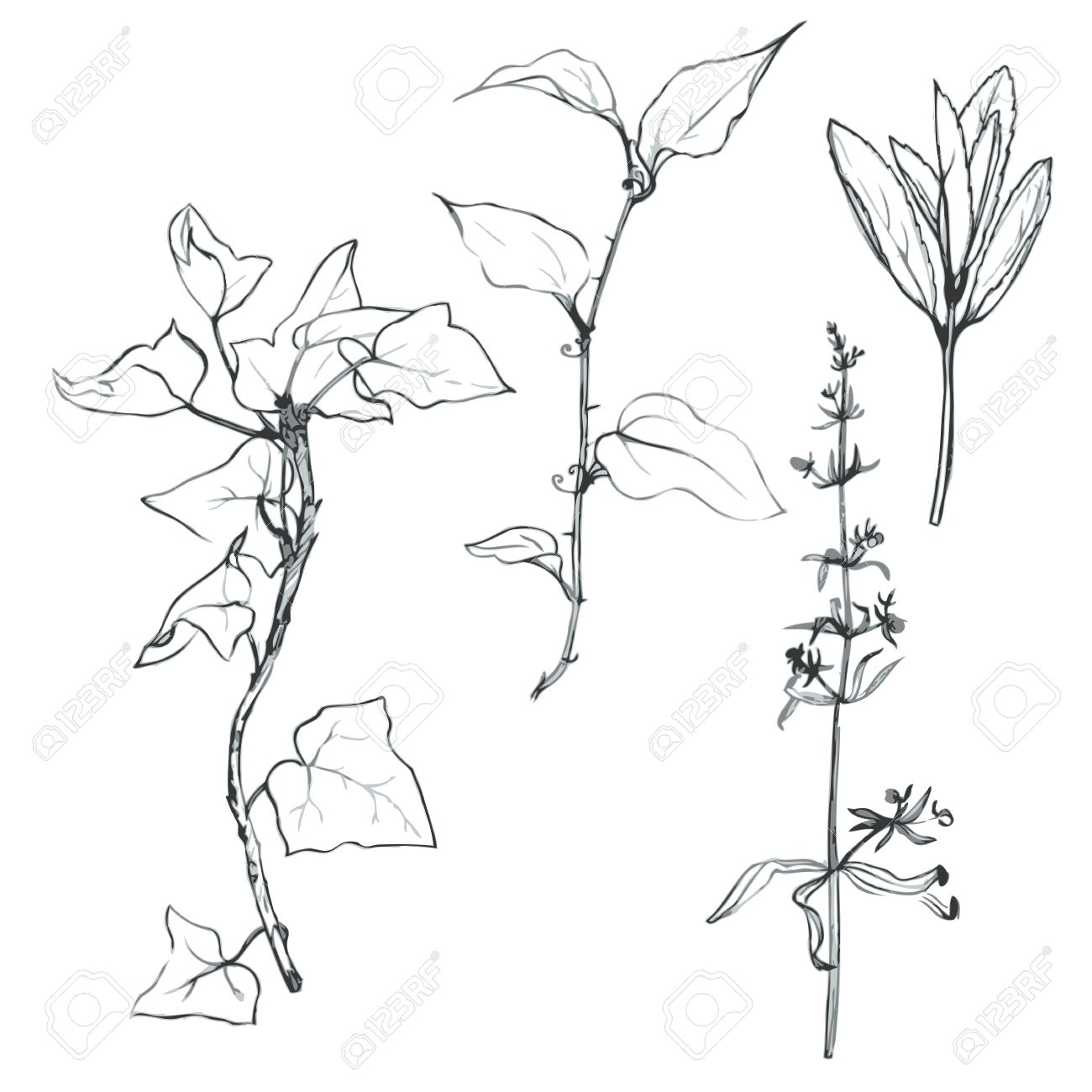 1300x1300 Set Of Pencil Drawing Herbs And Leaves, Painted Graphite Pencil
