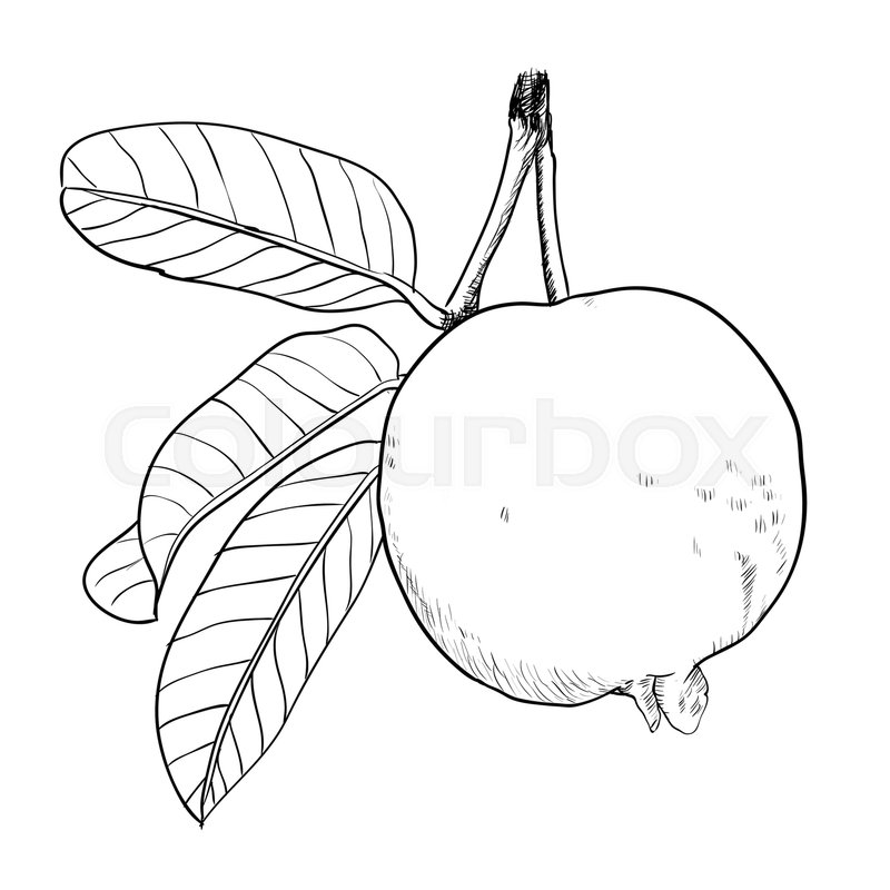 800x800 Hand Drawing Of Guava With Leaf. Black And White Simple Line