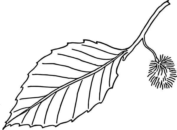 600x442 Beech Leaf Outline Clip Art