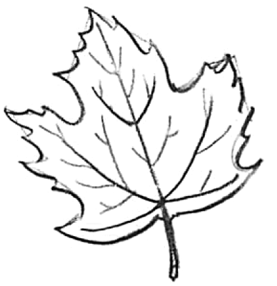 400x413 How To Draw Maple Leaves