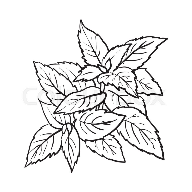 800x800 Mint Herbs Ingredients, Black And White Outline Sketch Style