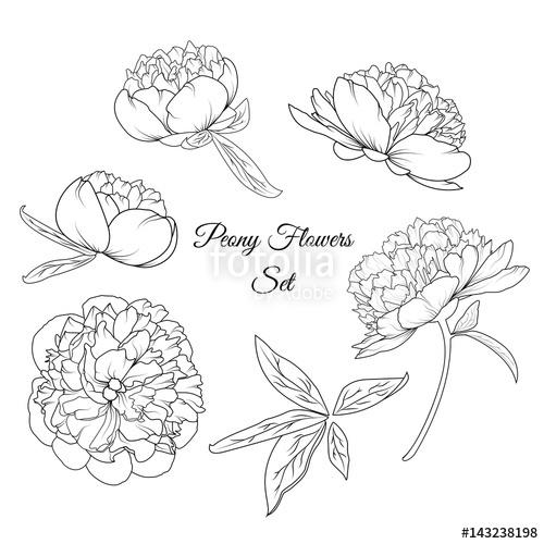 500x500 Peony Rose Flowers Shrub Vector Design Illustration Reusable