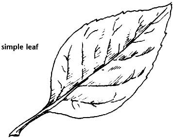356x284 Leaves