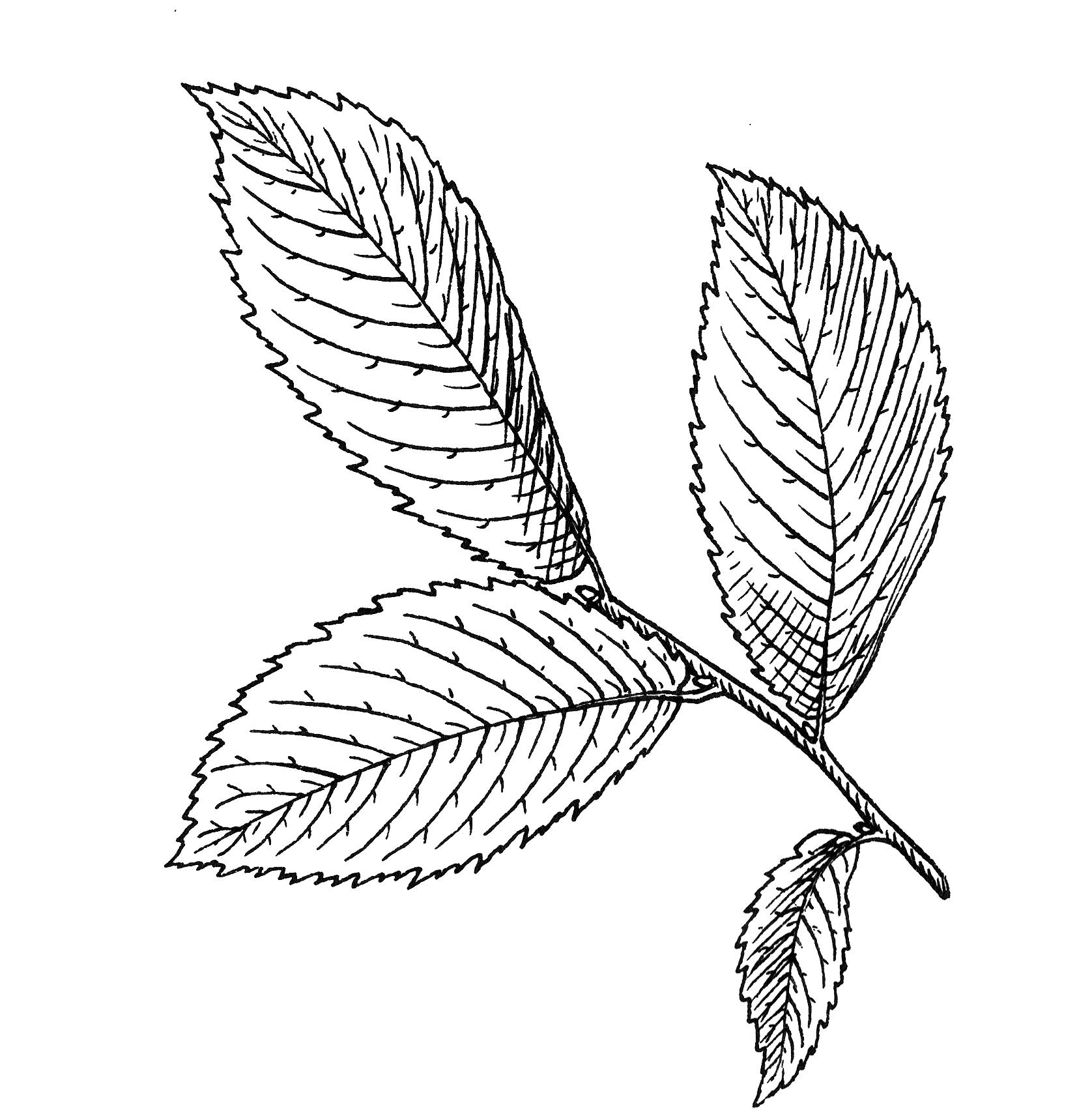 1676x1706 FileElm Leaf 1 PSF