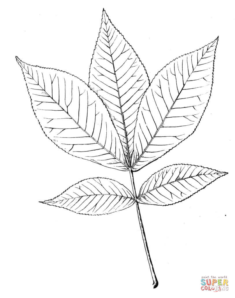 813x1029 Shagbark Hickory Leaf Coloring Page Free Printable Coloring Pages