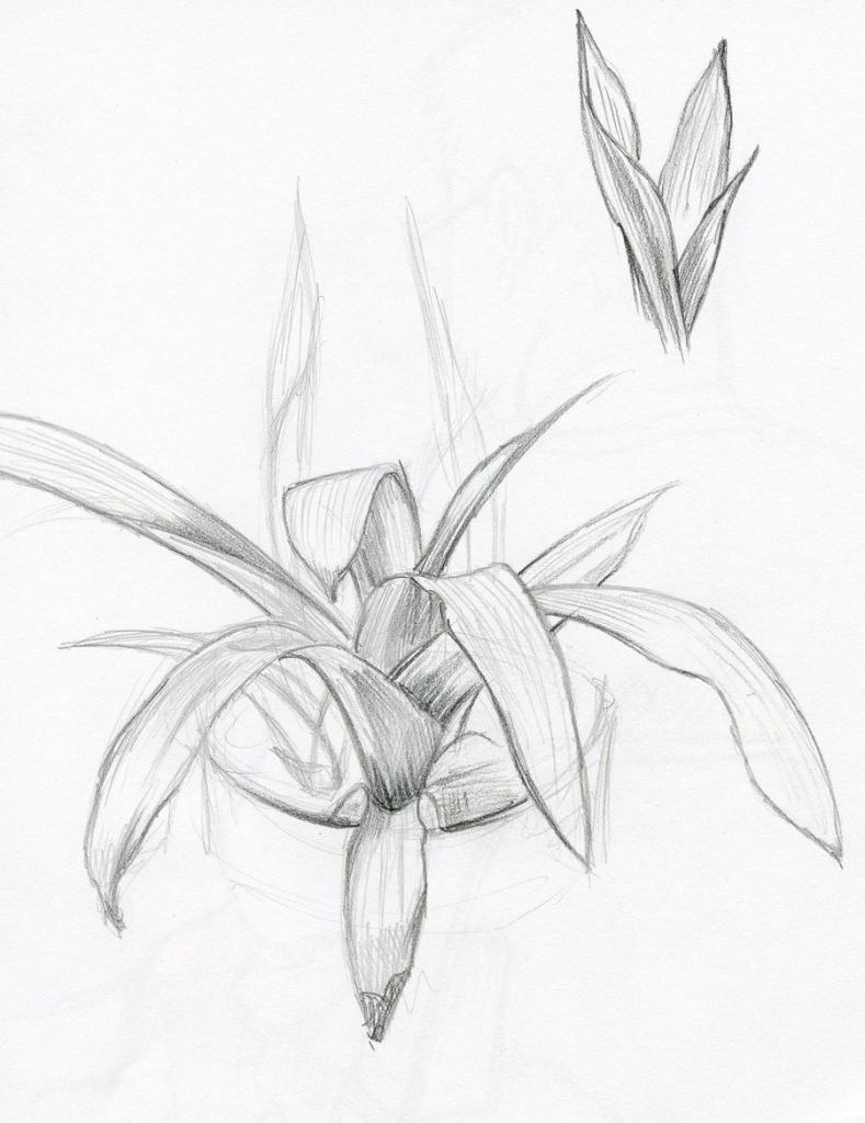 789x1024 Pencil Drawings Of Plants Pencil Sketch Plants Phebron