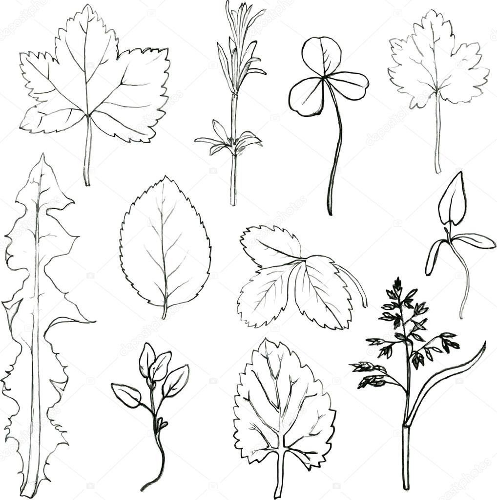 1018x1023 Set Of Pencil Drawing Herbs And Leaves Stock Vector