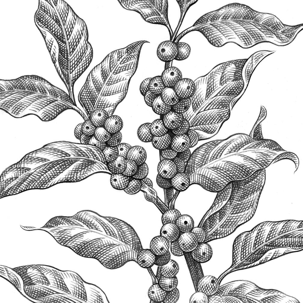 1008x1008 Pencil Sketch Motley Coffee Plant