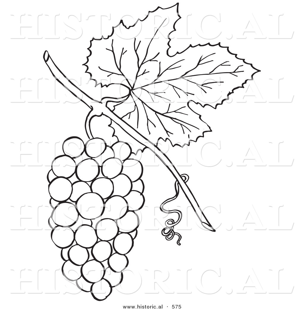 1024x1044 Historical Vector Illustration Of A Bunch Of Grapes With A Leaf