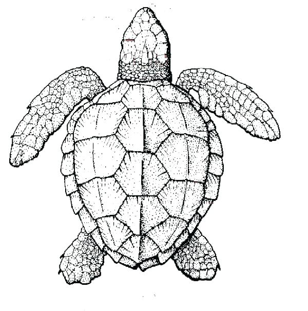 leatherback sea turtle drawing at getdrawings com free for