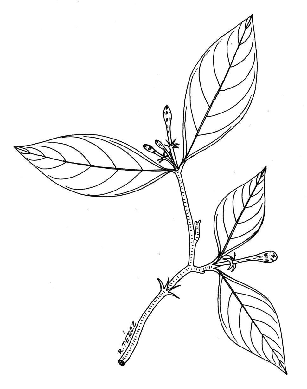 969x1227 Best Free Drawings Of Leaves Drawing