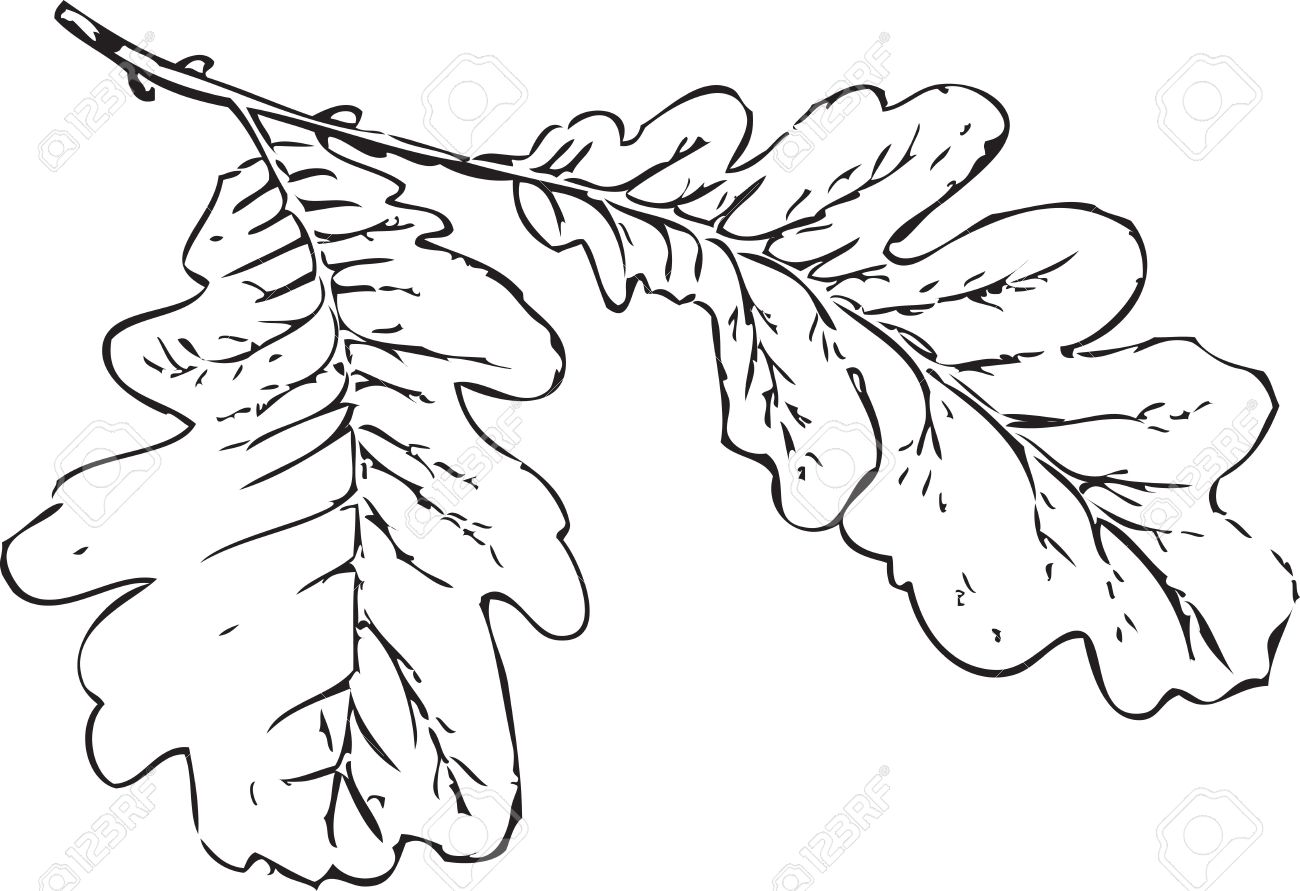 1300x891 Tree Branch Oak Leaves Tree Schedule Drawing Sketch Image