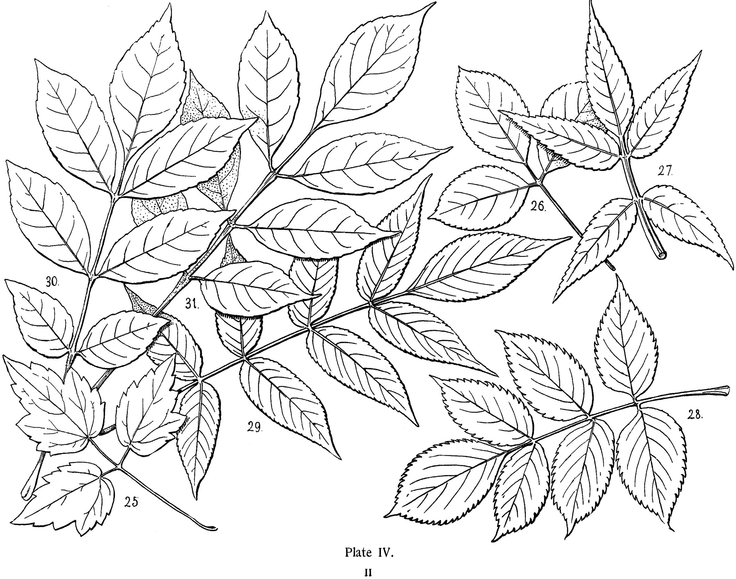 2400x1889 Vintage Leaves Illustration