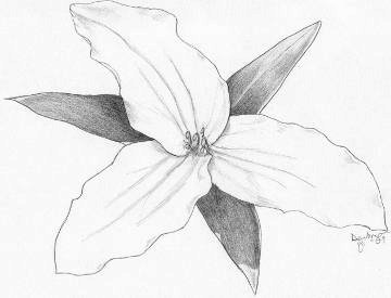 360x275 Trillium Pencil Sketch Of Flower By Artist Emily Dewbre Young
