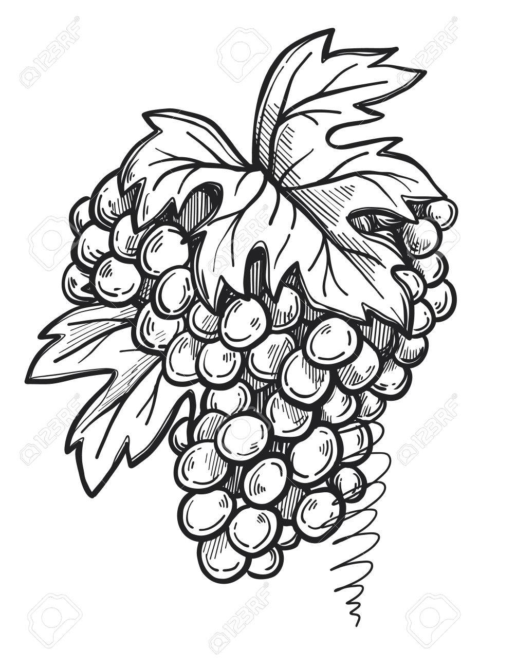 1004x1300 Bunch Of Grapes Freehand Pencil Drawing Isolated On White