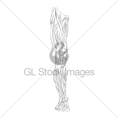 500x500 Leg Muscles Front Gl Stock Images