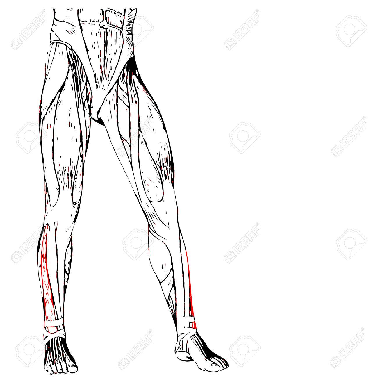 Leg Muscle Drawing At Getdrawings Free For Personal Use Leg
