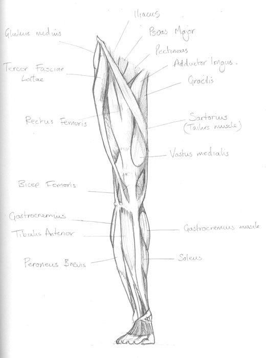 520x700 Muscles Of The Leg Chris Iliff Illustration