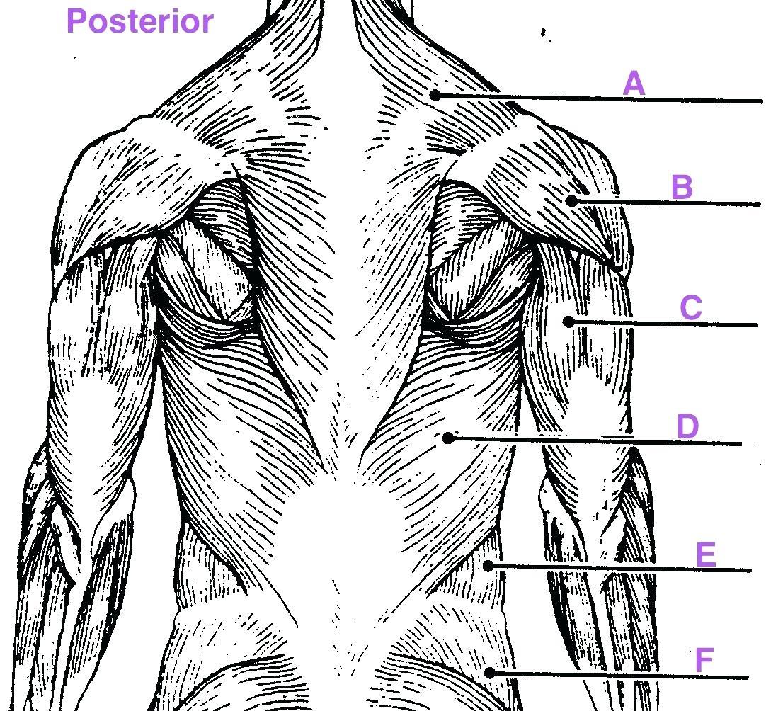 1082x1004 Diagram Upper Arm Muscle Diagram Human Leg Muscles Common Names