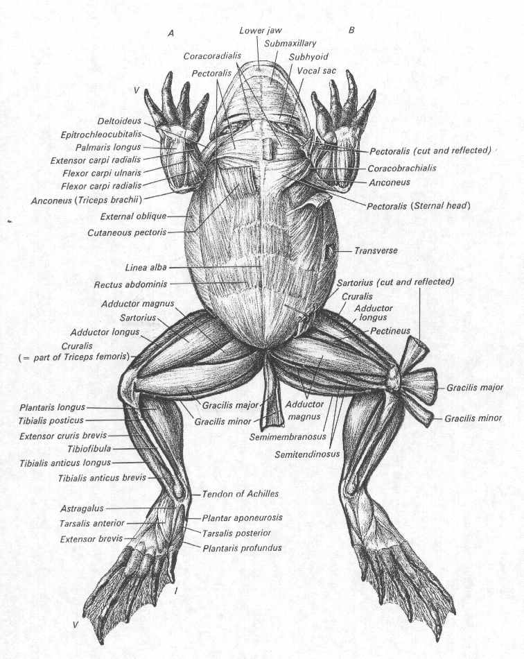756x950 Frog Muscles Labeled Animal Anatomy Frogs, Animal