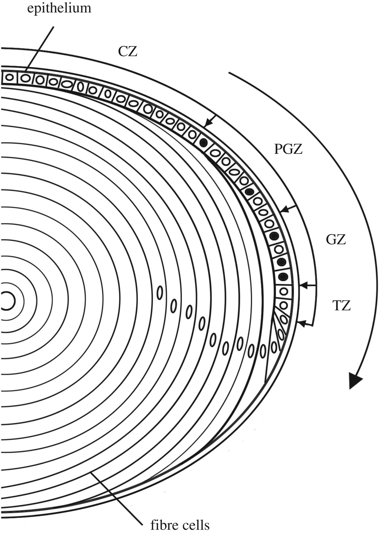 1279x1800 Full Lifespan Model Of Lens Growth Open Science
