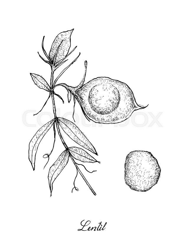 640x800 Vegetable, Illustration Of Hand Drawn Sketch Fresh Lentil Or Lens