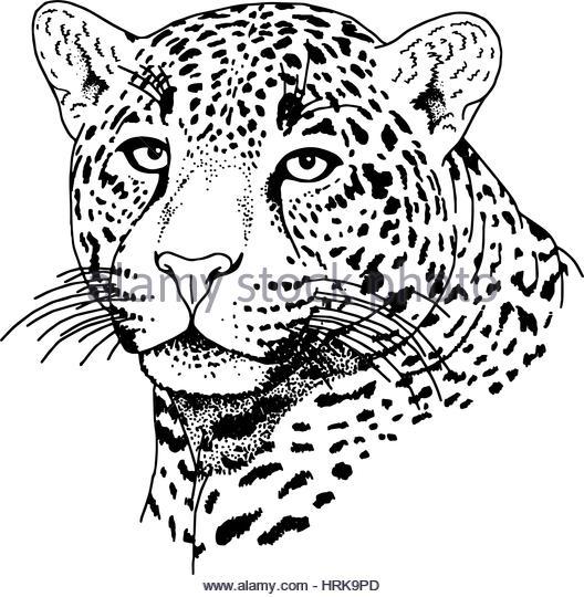 528x540 Leopard Face Vector Illustration Print Stock Photos Amp Leopard Face