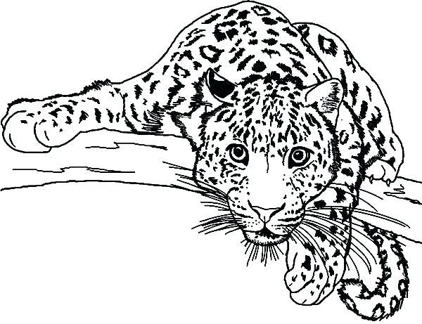 600x461 Leopard Clipart Leopard Black And White Leopard Clipart Background