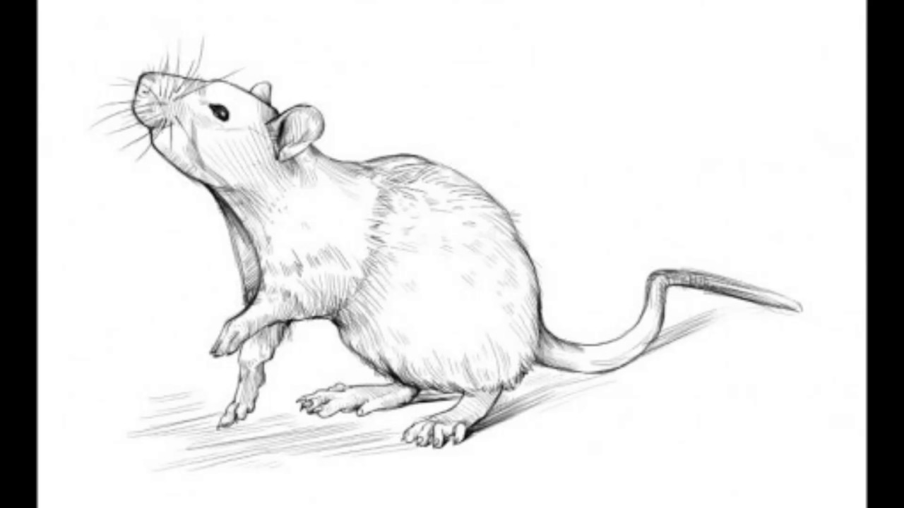 1280x720 How To Draw A Rat