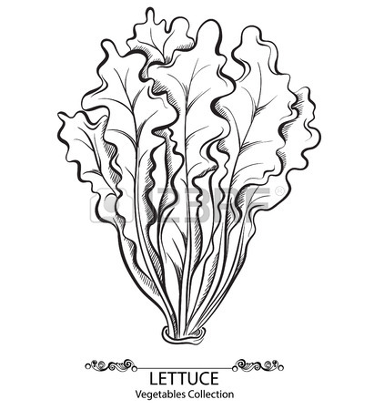 411x450 Salad Lettuce. Vector Hand Drawn Vegetables Isolated On White