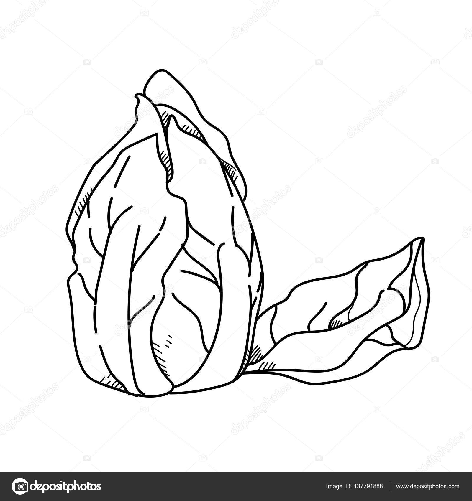 1600x1700 Freehand Drawing Illustration Vegetable Lettuce. Stock Photo