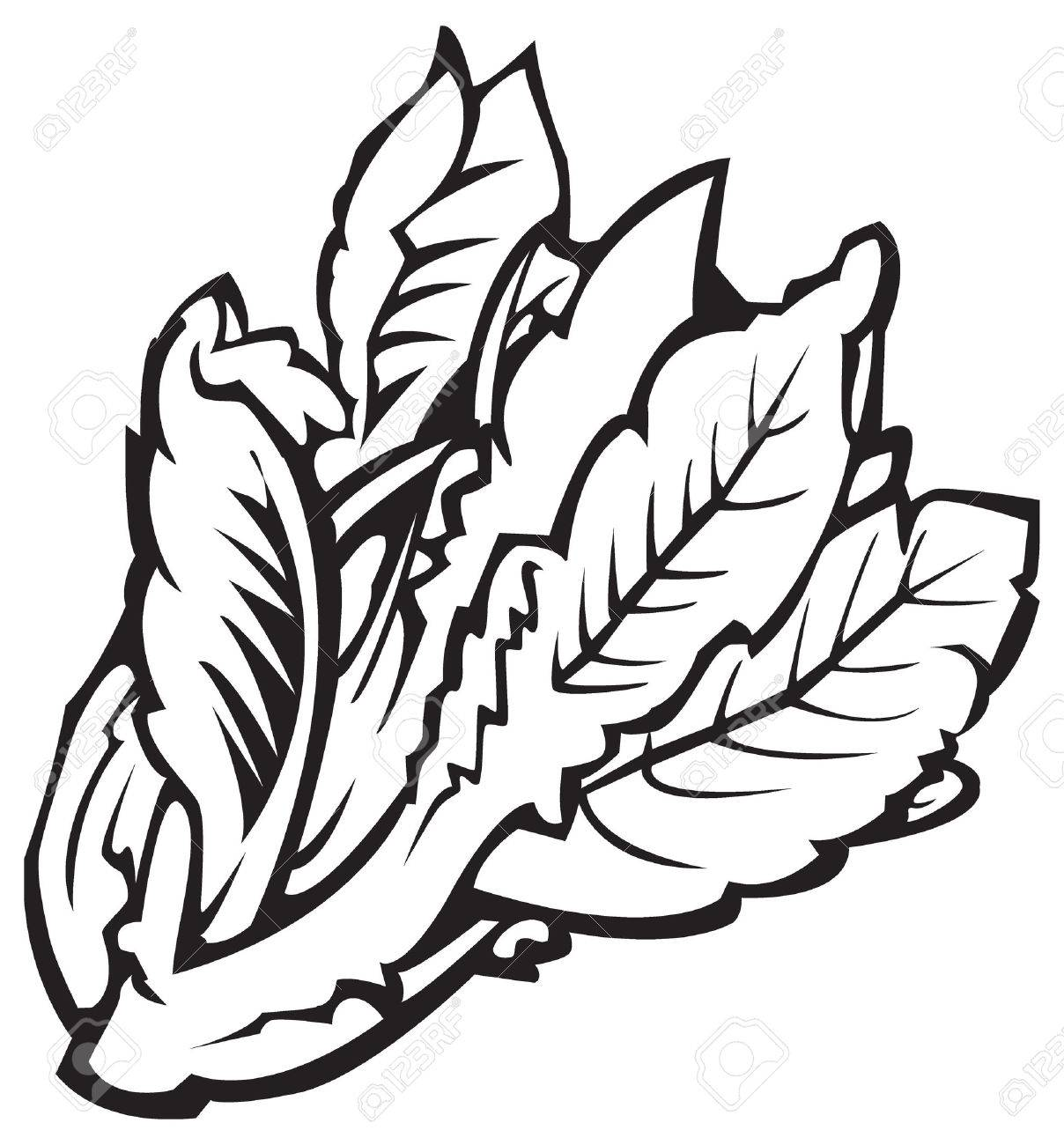 Lettuce Leaf Drawing at GetDrawings.com | Free for personal use ...
