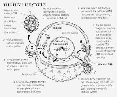 394x328 A Schematic Representaion Of The Life Cycle Of The Hiv Virus.