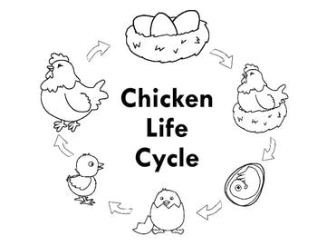 350x271 Chicken Life Cycle Freebie By Myacestraw Teachers Pay Teachers