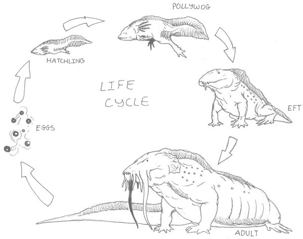 600x472 Hellbender Life Cycle By Ashere