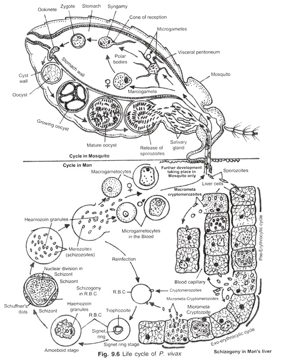 554x710 Life Cycle Of Plasmodium In Mosquito (With Diagram)