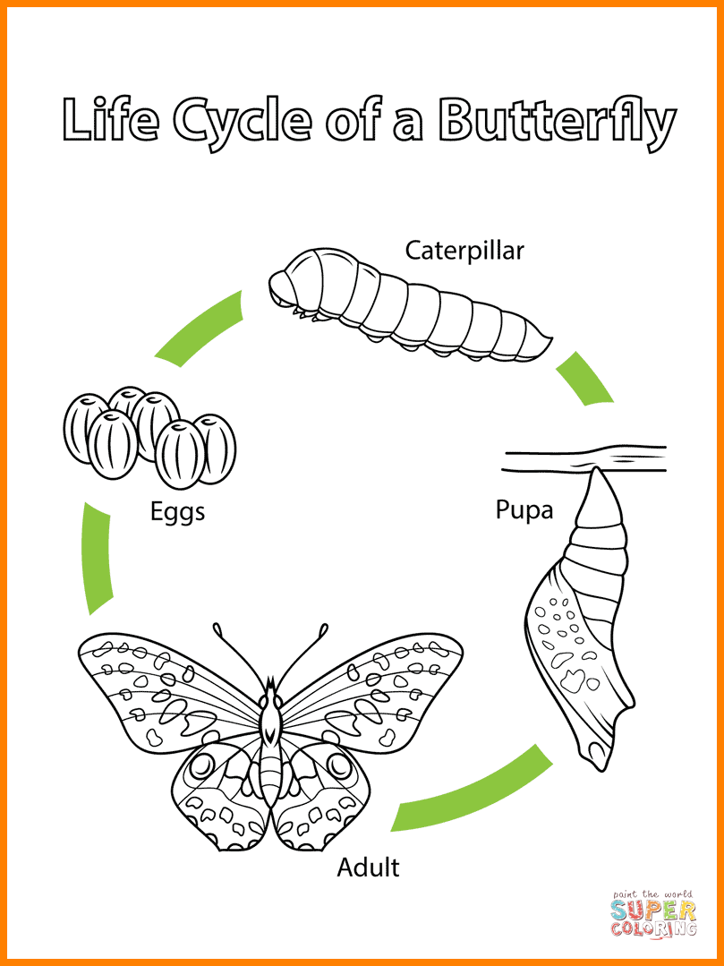 Life Cycle Of A Butterfly Drawing