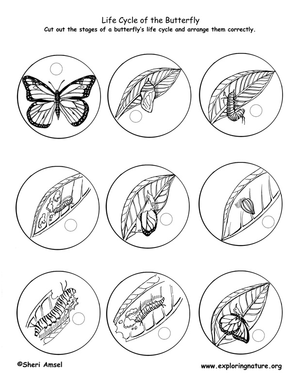 612x792 Butterfly Life Cycle Printable Correct Life Cycle Order