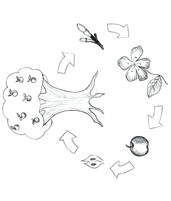 550x645 Plant Life Cycle Coloring Page Butterfly Life Cycle Colouring Page