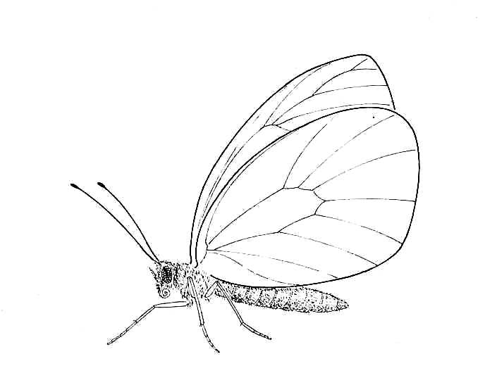 705x530 Biological Drawings. Insects. Butterfly Adult 2. Biology Teaching