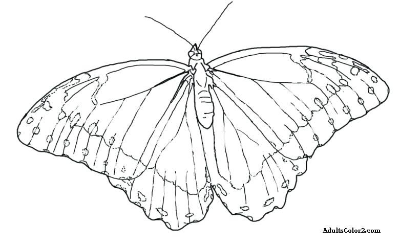 781x481 Butterfly Coloring Page Drawing Of A Blue Butterfly Butterfly Life