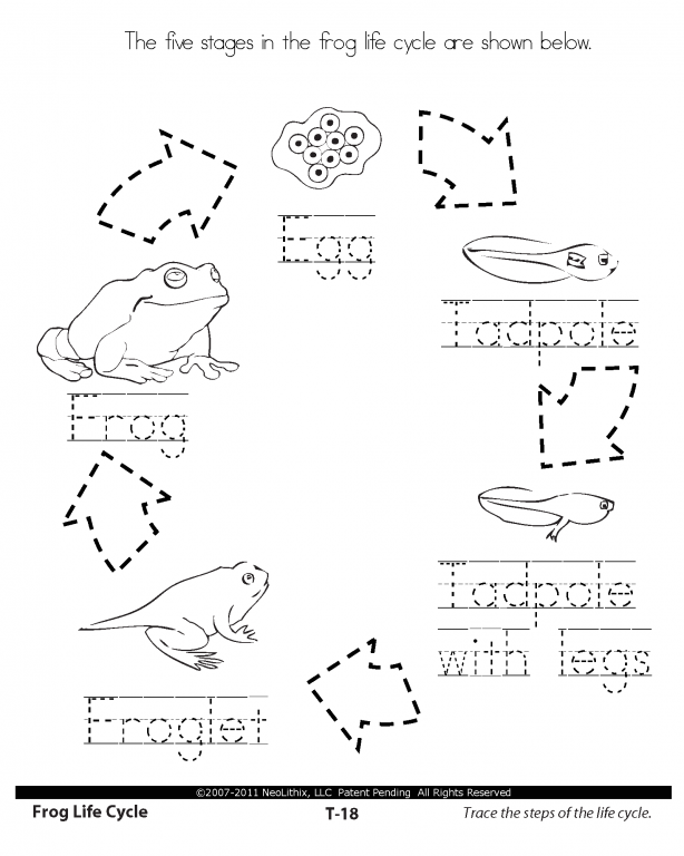 Life Cycle Of A Frog Drawing