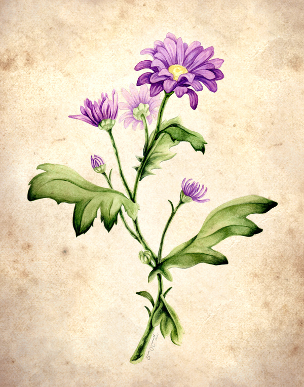 600x764 Botanical Illustrations By Sarah O'Connell, Via Behance Scad