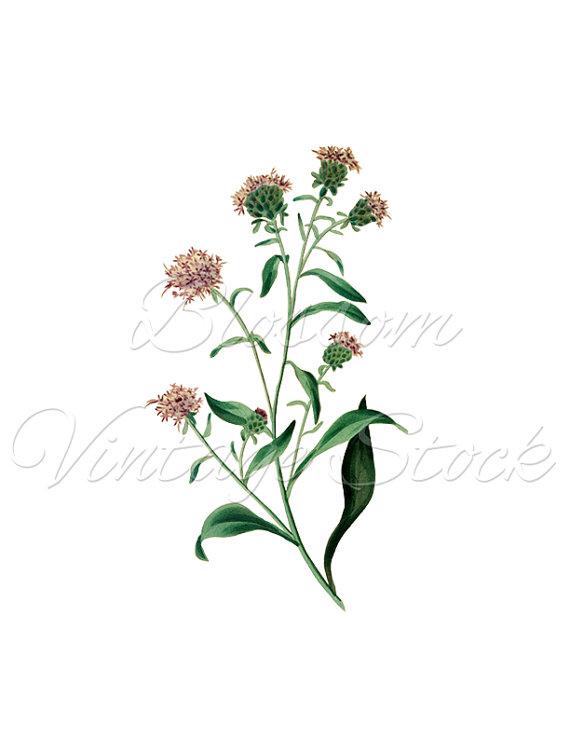 570x738 Botanical Printable Instant Download Lilac Flower, Botanical