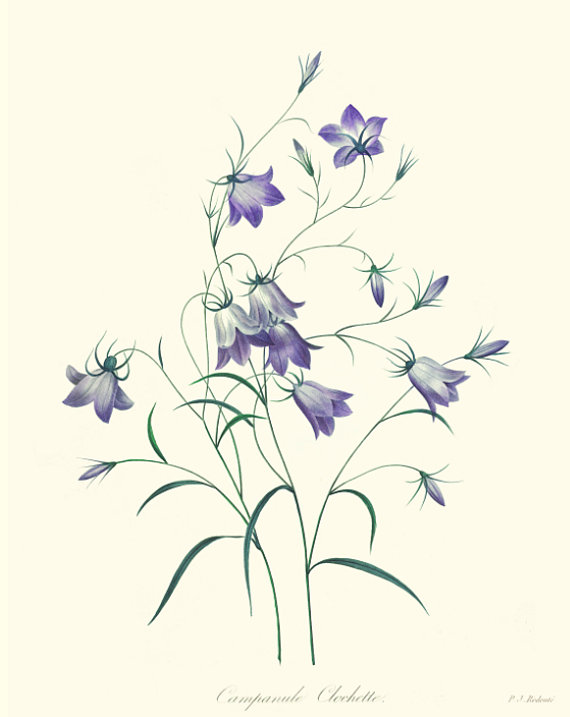 570x717 Botanical Print Of Campanula Rotundifolia Also Known As